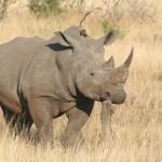 Neue Techniken sollen Nashörner schützen