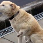 Ein Mann und seine Tiere - die letzten Hinterbliebenen in Japans verseuchter Zone