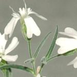 30.000 Jahre alte Blumen zum Leben erweckt
