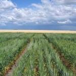 Neue Weizensorte wächst sogar auf versalzenem Boden