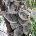 Die Koalas in Australien sollen besser beschützt werden