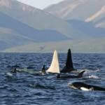 Der weiße Wal: sensationelle Entdeckung