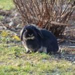 Kaninchen als