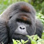 Ruandas Berggorillas entschärfen Buschfallen
