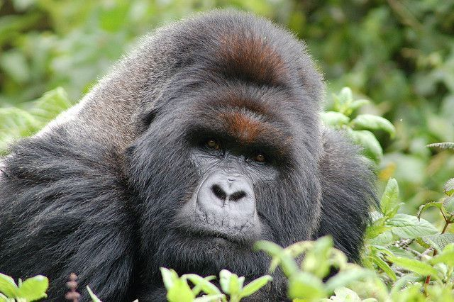 Berggorillas (Gorilla beringei beringei) in Ruanda überraschen Forscher durch ihr enormes Geschick.  © Sara&Joachim / flickr.com (CC BY-SA 2.0)