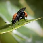 Forscher finden neue Wespenart in Deutschland
