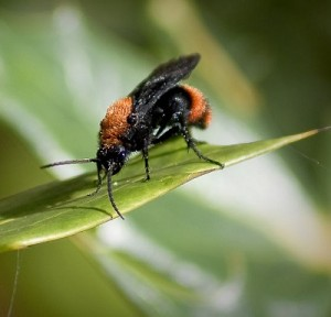 trugameise, dasymutilla occidentalis, neue wespenart, neue bienenart, neue ameisenart