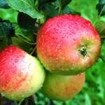 Apfelschalen gegen hohen Blutdruck