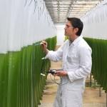 Biogas aus Algen statt aus Mais