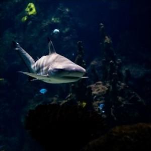 Hai, shark, Rettung durch Hai