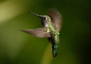 Kolibri, Rueckwaertsflug
