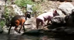 Schwein rettet Zicklein, Tierrettung, Tiere retten sich