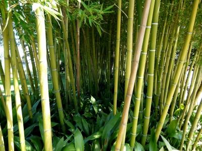 Bambus, Bambusfahrrad, Fahrradrahmen aus Bambus