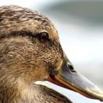 Gerettete Enten - das erste Mal im Wasser