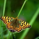 Schmetterlinge – Vorboten für eine intakte Umwelt