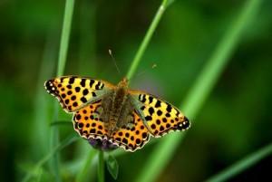 Schmetterling, intakte umwelt, bestaeuber