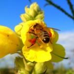 ″Deutschland summt!″ – Initiative zum Erhalt der Bienen