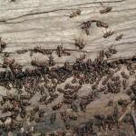 Ameisen-Demokratie: Probleme lösen per Abstimmung