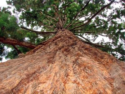 Mammutbaum, positive nachrichten, paulo coelho, kurzgeschichte, kurze lektuere