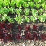 Aquaponik – eine grüne Revolution