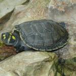 Die ″Weihnachts″-Schildkröten sind wieder da