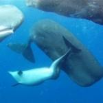 Pottwale adoptieren Delfin mit verkrümmter Wirbelsäule