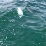 Weißer Wal in Ostsee gesichtet