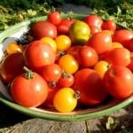 Tomaten aus biologischem Anbau haben mehr Vitamine