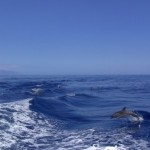 Junger Delfin rettet über 100 Artgenossen vor dem Stranden