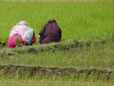 Reisanbau, kleinbauern, SRI-Anbaumethode, positive nachrichten