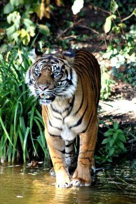 Sumatra-Tiger, indonesien, regenwald, positive nachrichten