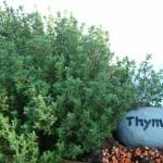 Thymian – ein Heilkraut der besonderen Art
