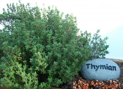 Thymian, heilkraut, heilpflanze, positive nachrichten