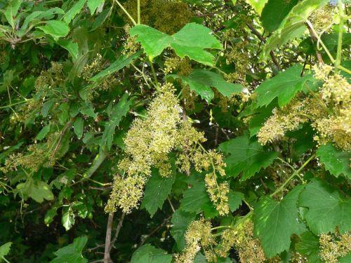 Europaeische Wildrebe, positive nachrichten, baeume pflanzen