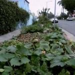 Guerilla Gärtner bringt frisches Leben in Nahrungs-Wüsten