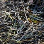 Seegras - ein natürlicher Dämmstoff aus dem Meer