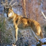 SAVE startet Schutzprojekt für Wölfe
