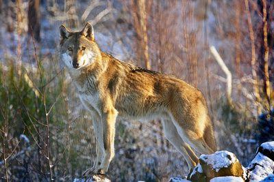 SAVE, Wolf, schutzprojekt, positive nachrichten
