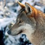 Warum der Mensch keine Angst vor dem Wolf zu haben braucht