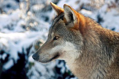 Wolfsportrait, positive nachrichten,