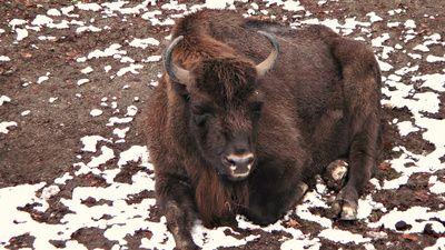 Europaeischer Bison; Wisent, positive nachrichten, tierschutz, wildrinder