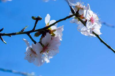 Obststadt, Kirschbaum, Kirschblueten, positive nachrichten, urban gardening, wiener neustadt,