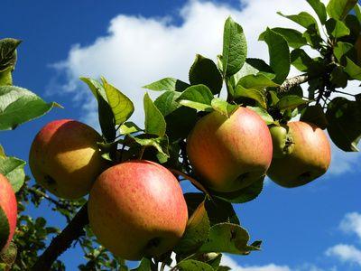 Obstbaum, Apfelbaum, Streuobst, Streuobstwiesen. Bionade, positive nachrichten