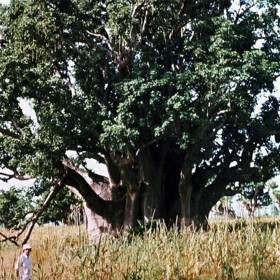 umwelt  Senegal: Tausende Gemeinden wollen Ökodörfer werden Affenbrotbaum Baobab