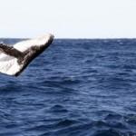 Sonarverbot rettet Wale vor Strandung