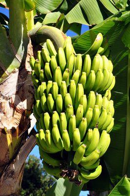 Bananen, Fasern, Bananenstauden, parkett, positive nachrichten, innovation