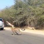 Verfolgungsjagd mal anders – Antilope rettet sich in parkendes Auto
