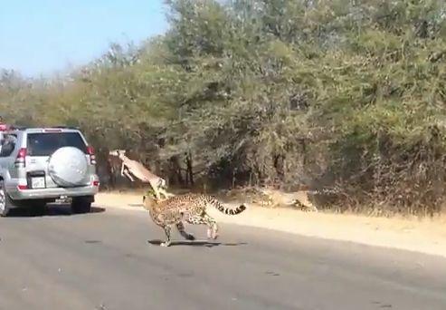 Antilope, Impala, Geparden, positive nachrichten