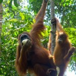 Orang Utan Kaffee – Artenschutz mal anders