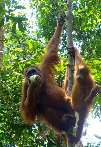 orang utans, sumatra, orang utan kaffee, positive nachrichten, artenerhalt